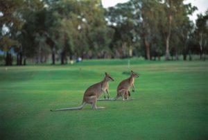 kangaroo-golf on your cairns golf holiday